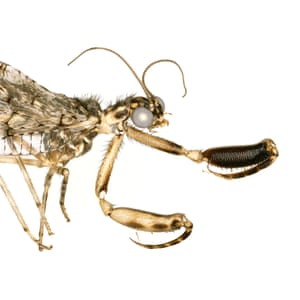 The mantisfly (Plega sp.) relies on its spine-covered forelimbs to catch its prey