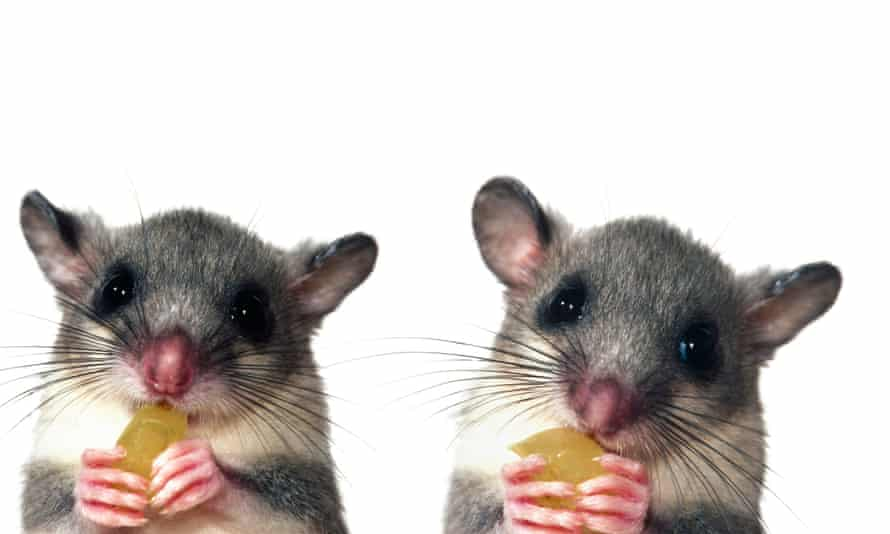 two dormice with sweets
