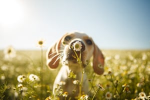 Second place, dogs at play category. Leica smells a flower in a chamomile field near her home town of Curitiba, Brazil