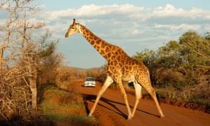 Stick your neck out … safaris in South Africa, paid for with rand, can offer excellent value.