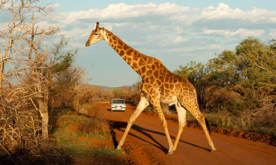 There are less than 100,000 giraffes on the planet.