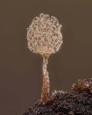 Slime mould (Arcyria pomiformis)