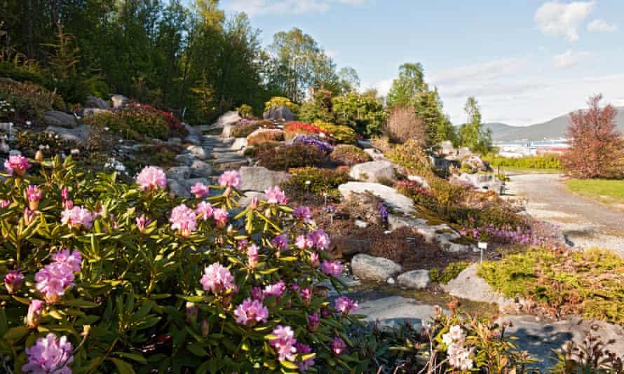 Rhododendron in the Arctic alpine botanic garden in Tromsø.