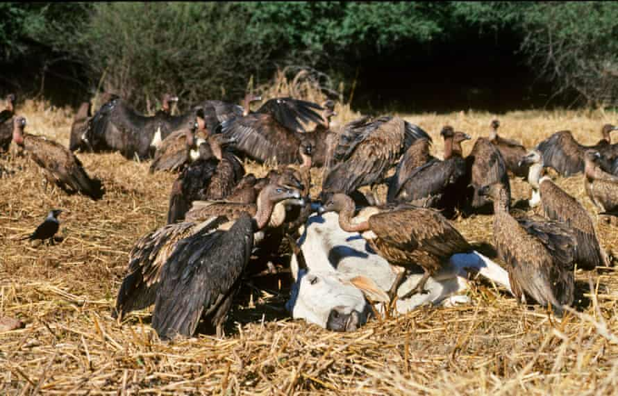 An Indian white-rumped vulture (Gyps bengalensis) and slender-billed vulture (Gyps tenuirostris) feed on cow carcass at Bharatpur India, January 1990
