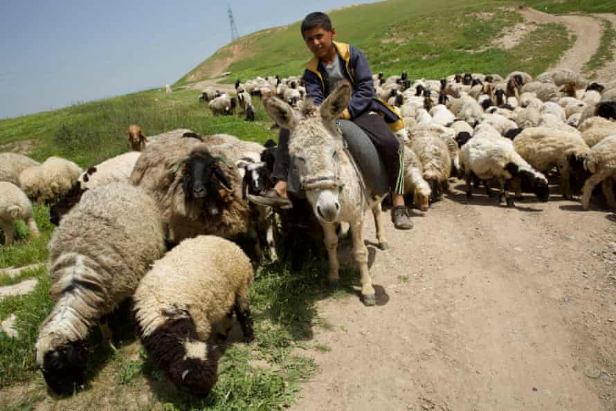 Sheep farming in Jerwan, Duhok, in Iraqi Kurdistan.