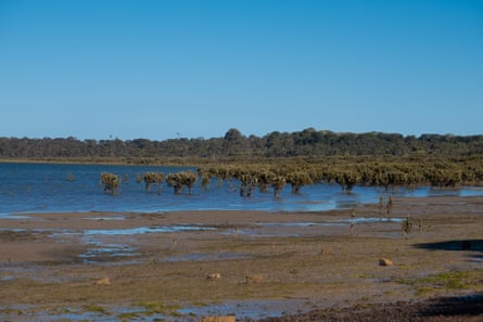 The Southern most mangroves at Crib Point, Victoria.