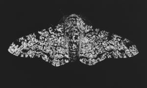 Peppered Moth moth mezzotint by printmaker and artist Sarah Gillespie