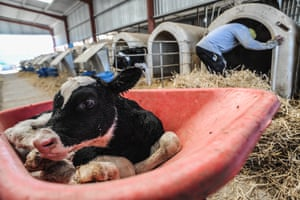 Newborn calf separated from mother at dairy farm, Spain, 2010.