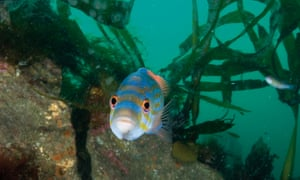 A cuckoo wrasse in Plymouth