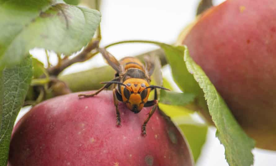 In this 7 October 2020, photo provided by the Washington state department of agriculture, a live Asian giant hornet with a tracking device affixed to it sits on an apple in a tree where it was placed, near Blaine, Washington.