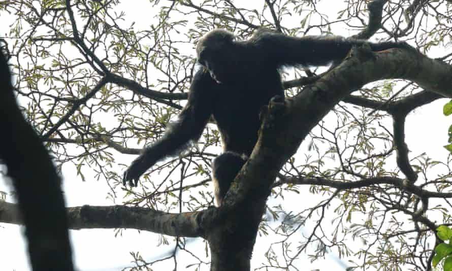 A chimpanzee on a fig tree in Kibare national park.