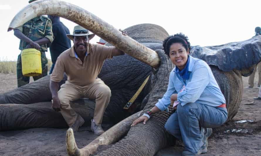 Kenya Wildlife Service Director General Kitili Mbathi and Paula Kahumbu with elephant Tim after the elephant was fitted with a tracking collar in Amboseli National Park, Kenya, on 10 September 2016.