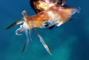 A squid swims underwater off the shore of the coastal city of Qalamun, north of the Lebanese capital Beirut