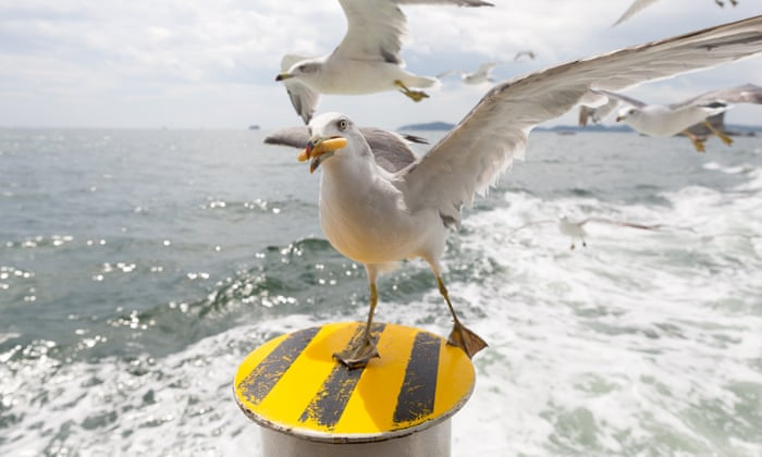 It Carried Our Dog Away Are The Uk S Seagulls Getting More