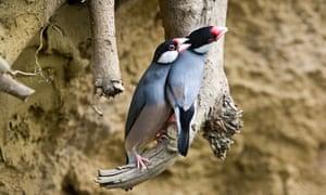 A Java sparrow