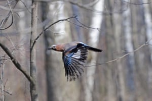 Eurasian jay in spring birch forest near Moscow, Russia.