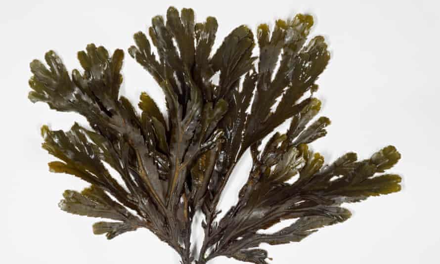 Fucus serratus (or toothed wrack) seaweed