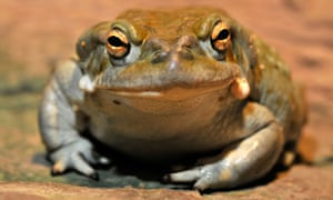Bufo alvarius, also known as the Sonoran Desert or Colorado River toad.