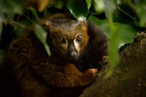 A red bellied Lemur at Howletts Wild Animal Park, Canterbury, UK