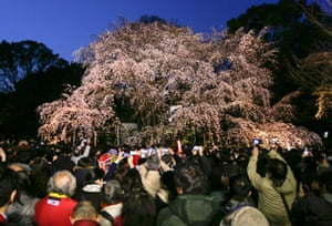 Crowds gather to take pictures of a lit up Prunus pendula or Shidarezakura cherry blossom tree in full bloom at Rikugien Gardens in Tokyo, Japan