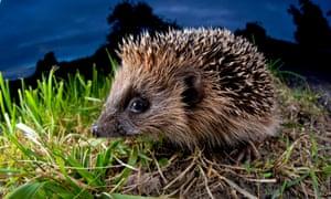 A hedgehog exploring at night.