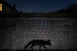 Urban winner: <em>Shadow walker</em> by Richard Peters (UK)<br>A snatched glimpse or a movement in the shadows is how most people see an urban fox. This shot conveys a sense of living in the shadows.