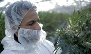 Dr Javid Abdelmoneim at a cannabis farm in Denmark on Horizon – Cannabis: Miracle Medicine or Dangerous Drug?