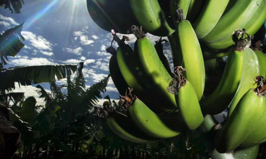 banana crops