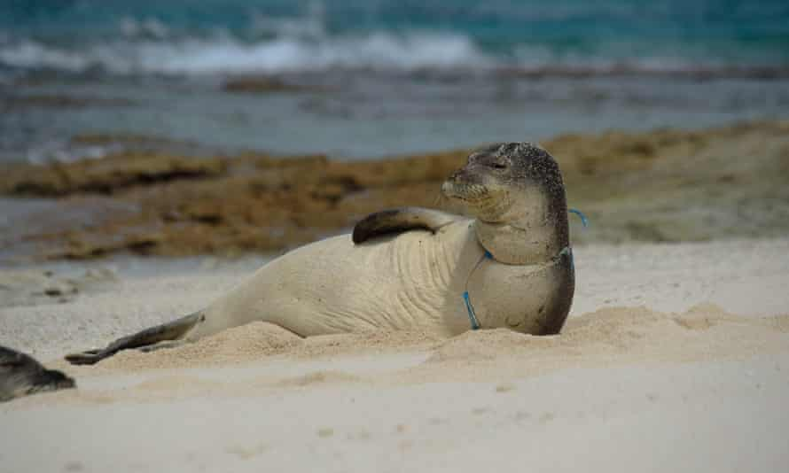 A female endangered Hawaiian monk seal entangled in derelict fishing gear. Photo taken under NOAA/NMFS permit no 22677.