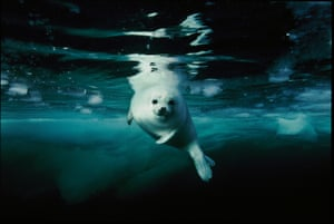 Harp Seal pup in Gulf of St Lawrence, Canada