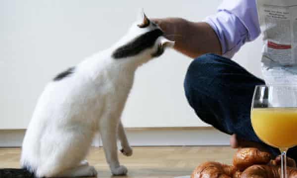 Cat head-butting man