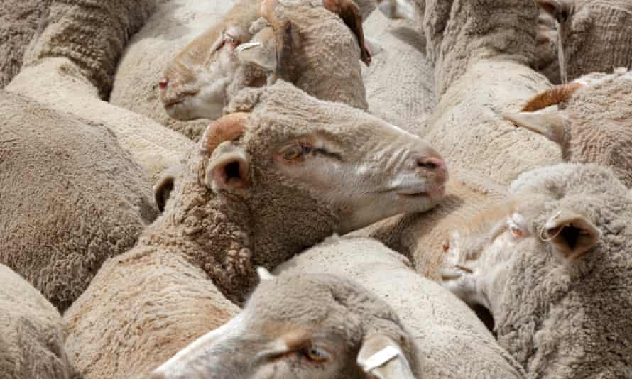 Sheep on a ship bound for export