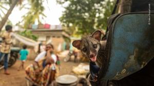 Asian palm civet kitten