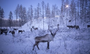 Reindeer culls are traditionally held in November and December, but the number of animals to be killed this year is expected to be much higher because of the threat of an anthrax breakout.