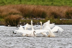 Whooper swans dance