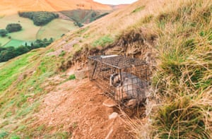 Badgers in the Peak District, UK. They have been captured in a cage ready for a TB vaccination.