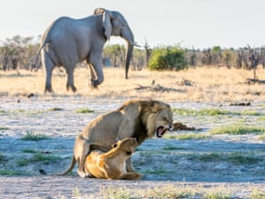 In the Okavango delta an elephant gives wide berth to a pair of lions during their mating rituals. The lions often prey on the elephants.