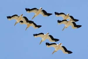 Pelicans fly above agricultural fields near the southern Israeli city of Netivot