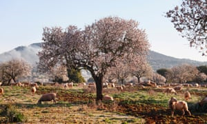 Spain, Balearic Islands, Majorca, Santanyi, Blossoming Almond trees (Prunus dulcis) with sheep