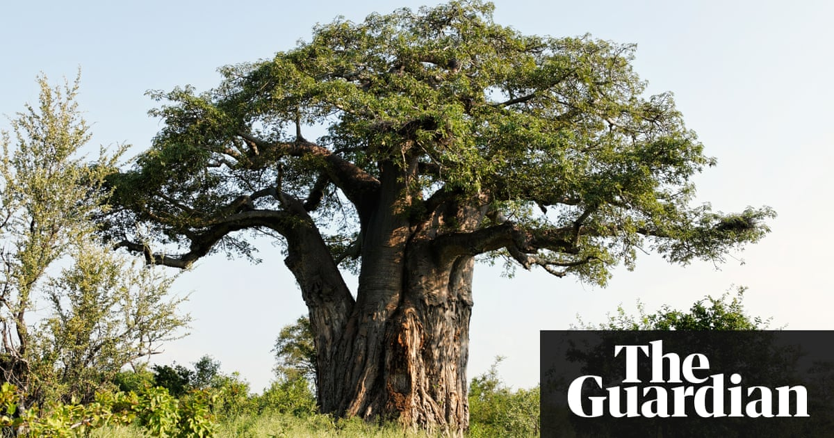 Giant African baobab trees die suddenly after thousands of years – Trending Stuff