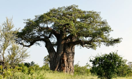 Giant African baobab trees die suddenly after thousands of years | World news | The Guardian