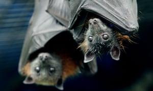 Bats agriculture