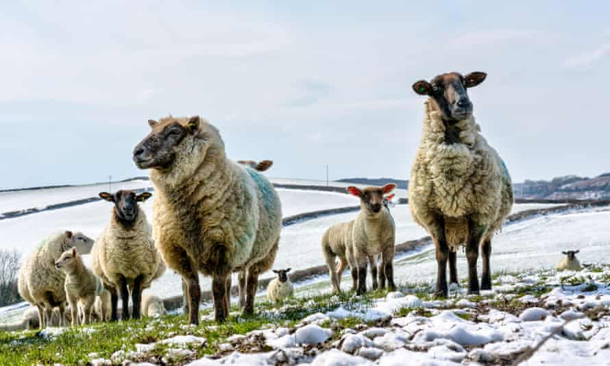 A flock of ewes with lambs in Cornwall