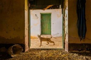 Highly commended, urban wildlifeLynx on the threshold by Sergio Marijuan, SpainA young Iberian lynx pauses in the doorway of the abandoned hayloft where it was raised, on a farm in eastern Sierra Morena, Spain.