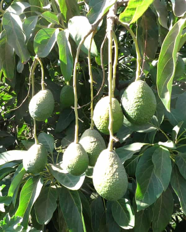 Hass avocados growing.