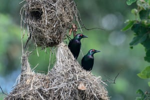 Metallic starlings or shining starlings by their nest, North Queensland, Australia