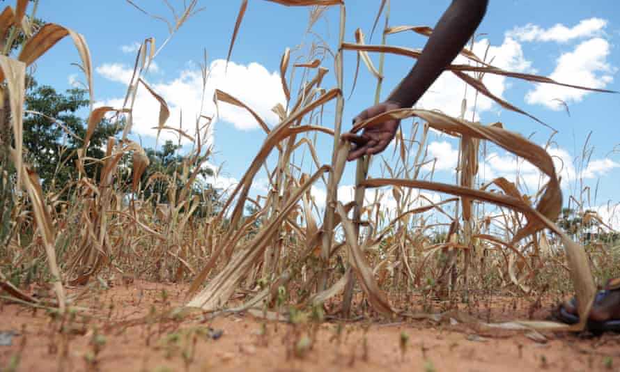 A maize crop devastated by drought, days before the Cyclone hit, in Mutoko
