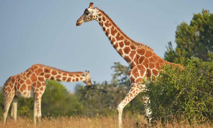 Giraffes in Laikipia county, Kenya. Once common across sub-Saharan Africa, giraffes are now listed as Vulnerable on the IUCN Red List population following a population decline of up to 40% over the last 30 years.