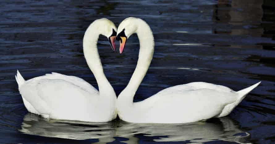 Swans forming a loveheart with their necks