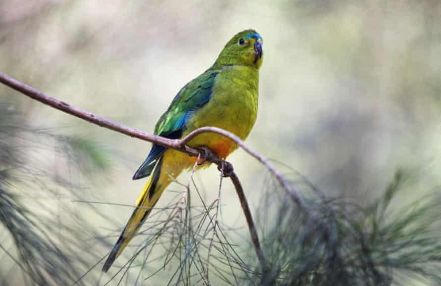 A male orange-bellied parrot.
